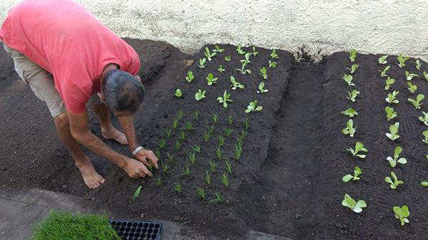 Seu Inocêncio, plantando mudas na horta da EMEF Anna Queiroz